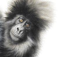 Mountain Gorilla by Martin Aveling